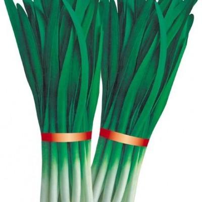 供应长青韭霸—韭菜种子