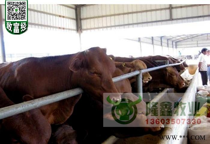 供应利木赞牛犊