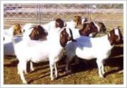 供应西门塔尔牛