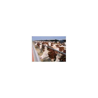 供应改良肉牛,西门塔尔牛,夏骆莱牛