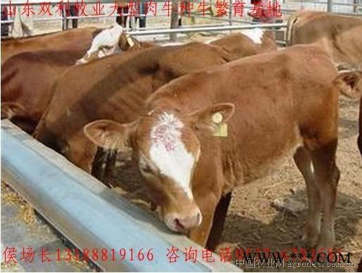 供应优良肉牛种牛