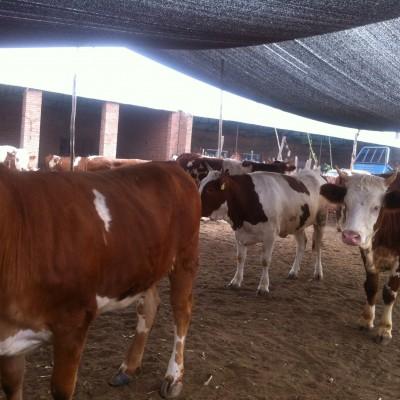 供应肉牛牛犊、西门塔尔牛、利木赞牛