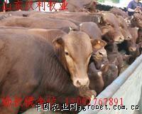供应改良育肥肉牛种牛犊