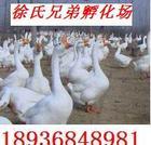 供应优质鹅苗、鸭苗、大白鹅等