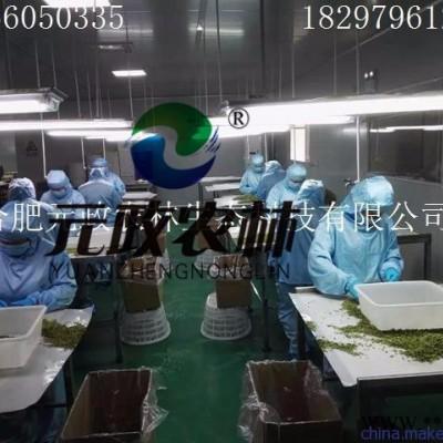金针菇**|元政农林|金针菇产品