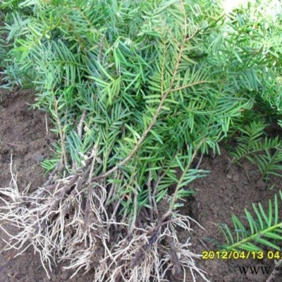 吉林东北红豆杉苗   高10-30公分的  占地苗  盆景苗
