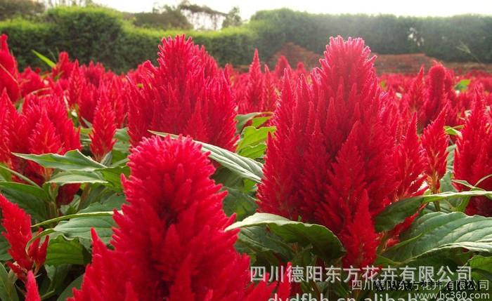 凤尾鸡冠服饰种子 花卉种子 鸡冠花种子 价格实惠