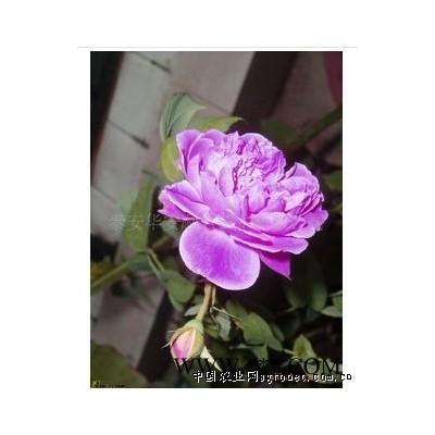 供应四季红玫瑰