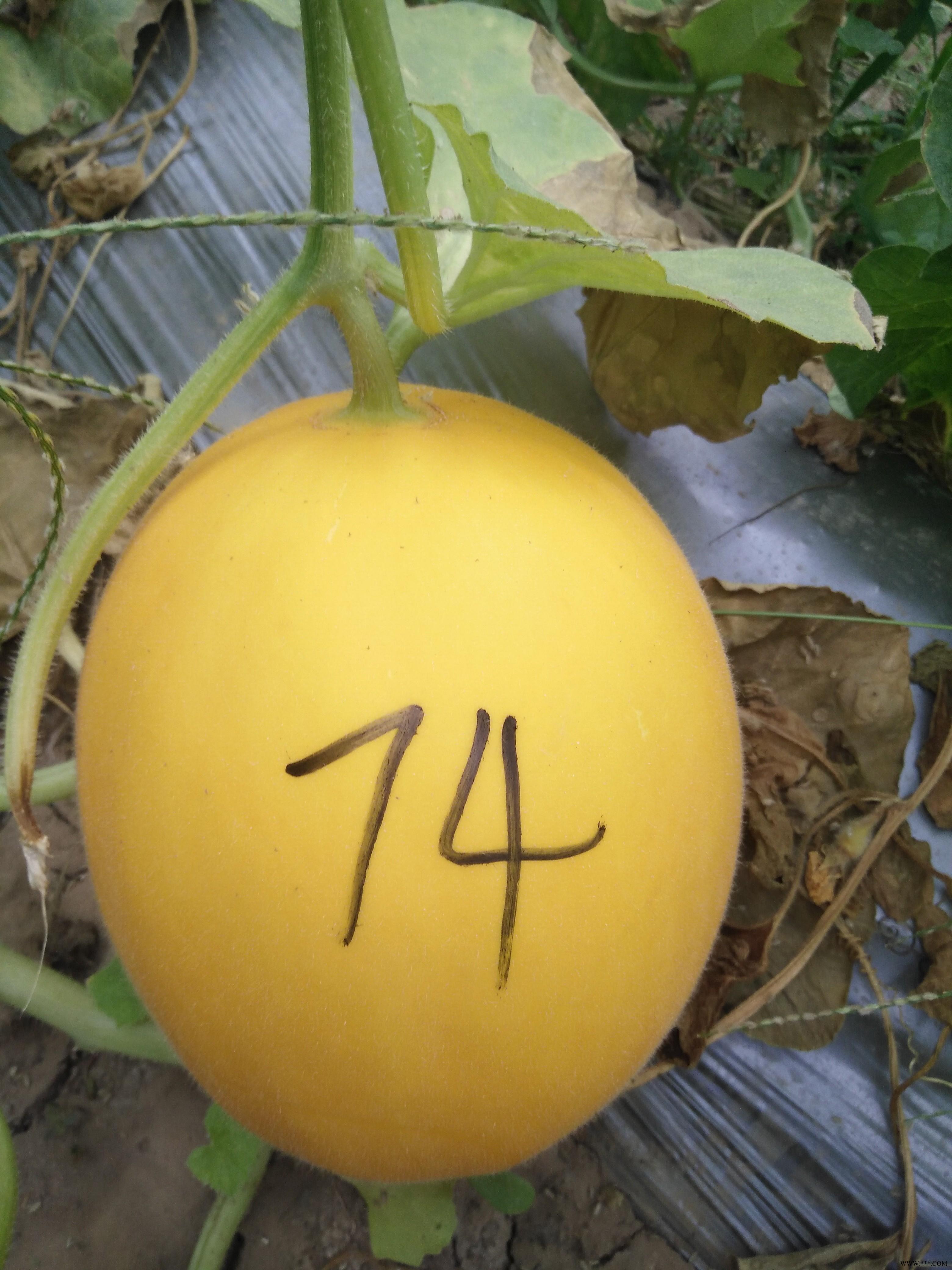 供应*74号—甜瓜种子