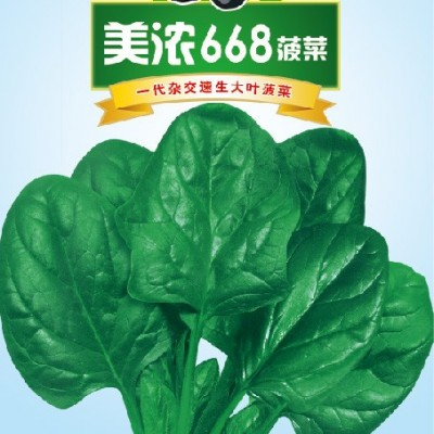 供应美浓668——抗病高产杂交菠菜系列
