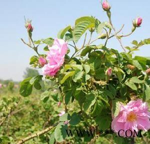 供应保加利亚玫瑰苗木(大马士革)
