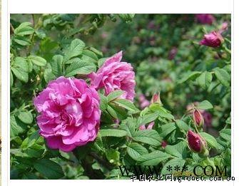供应四季玫瑰
