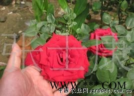 供应红玫瑰种子 5元20粒