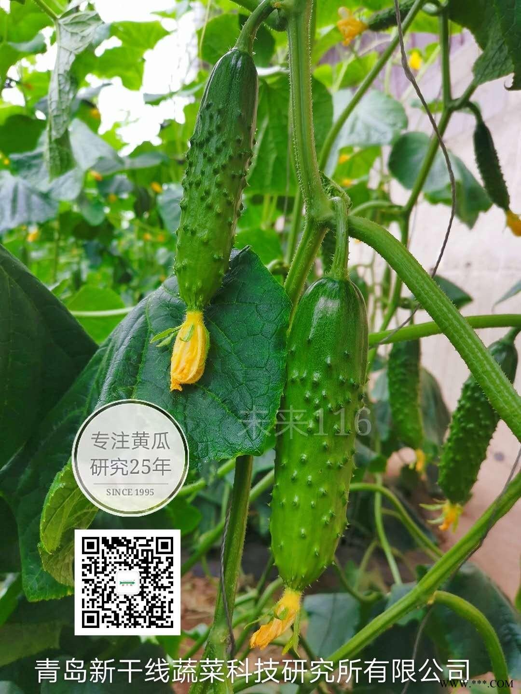 供应大包大刺黄瓜品种未来116旱黄瓜种子