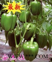 供应安杰拉—甜椒种子