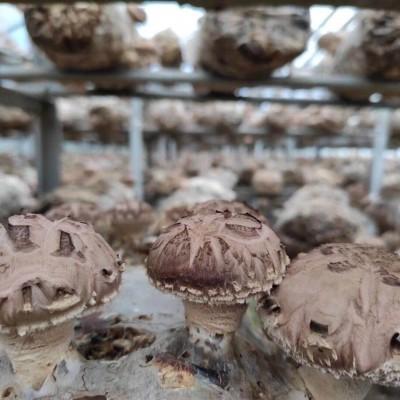 供应灵宝昌盛优质香菇菌棒香菇菌棒厂家