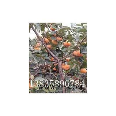 供应柿树苗,甜柿子柿树苗,阳丰甜柿子树苗