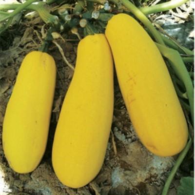 供应亿丰368—籽用西葫芦种子