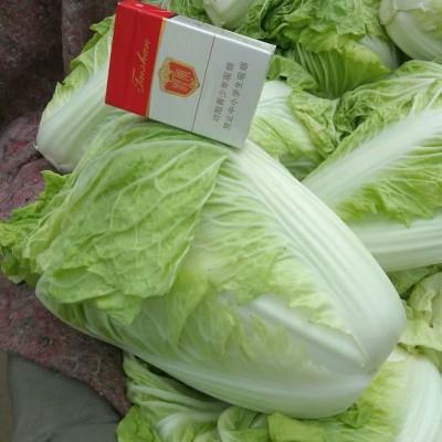 供应夏阳白菜,抗热王白菜,山东大白菜