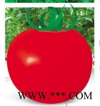 供应以色列318大红番茄-番茄种子