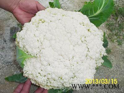供应惠松100天松花菜种子