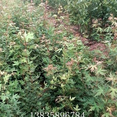 供应红叶五角枫树苗