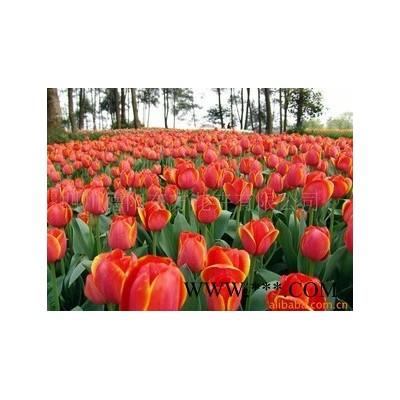 供应郁金香球根花卉