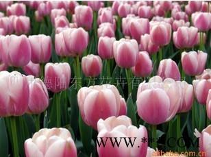 供应荷兰进口-郁金香
