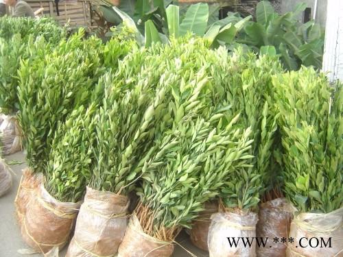 供应椪柑树苗