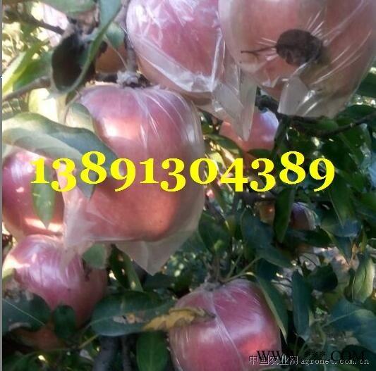 供应陕西红富士苹果