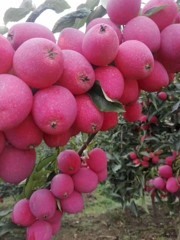 供应塞外红苹果苗