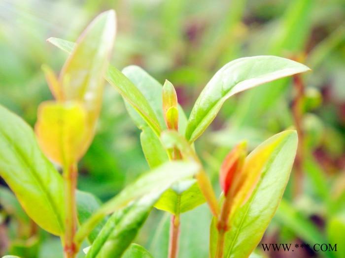 供应盘州红软籽甜石榴树苗