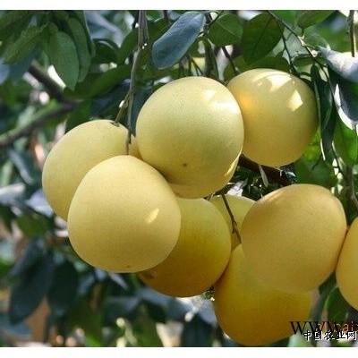 供应琯溪蜜柚