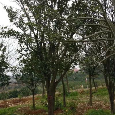 供应柚子树苗