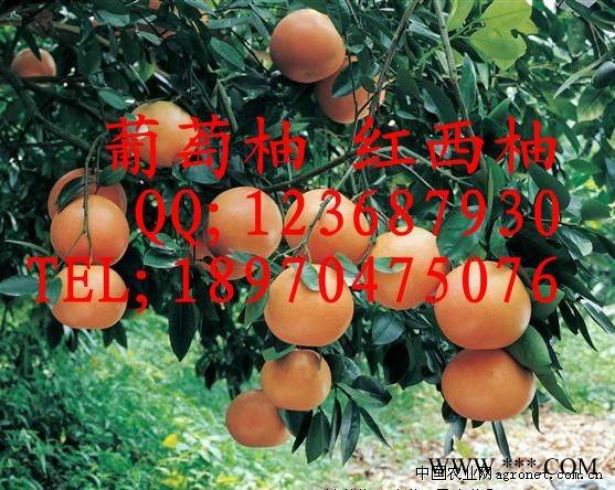 供应泰国金柚苗 通利迷你柚苗 健香柚苗