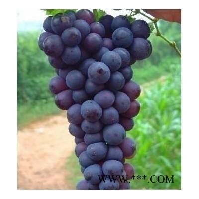 供应大量京亚葡萄