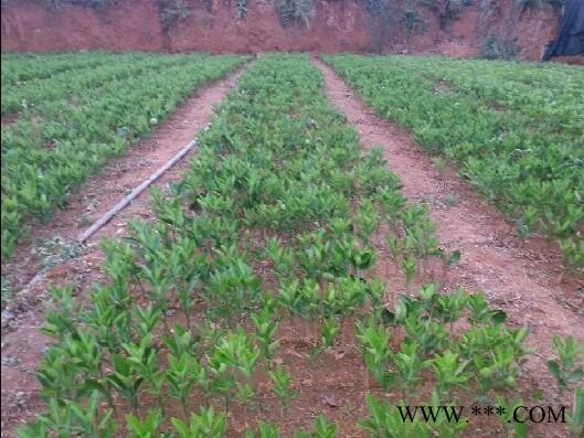 供应砂糖桔树苗