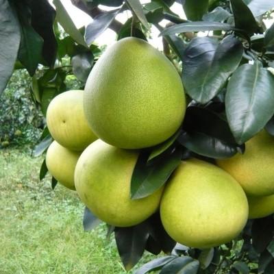 供应精品蜜柚