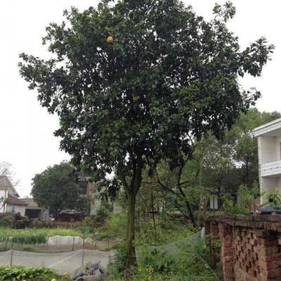 供应15公分柚子树