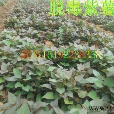 供应紫薯苗