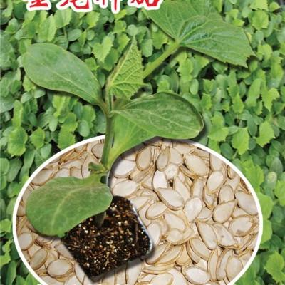 供应金龙神砧—砧木种子