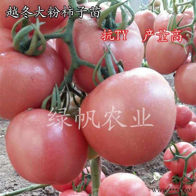供应西红柿种苗 抗病毒大粉果西红柿苗 番茄