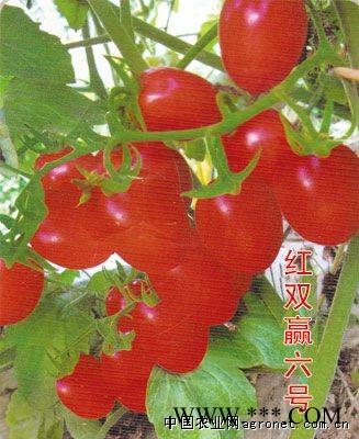 供应红双赢6号—番茄种子