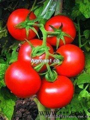 供应大红番茄