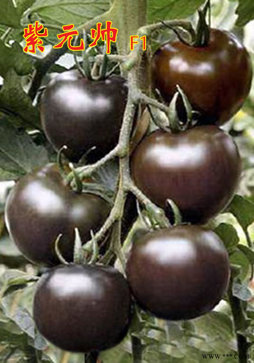 供应紫元帅F1-黑番茄苗圣女果苗 小番茄苗 樱桃西红柿苗