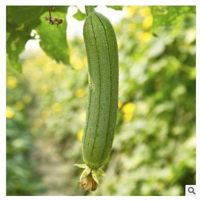 肉丝瓜种子香丝瓜种子皱皮丝瓜无棱高产菜园阳台基地四季丝瓜秧苗