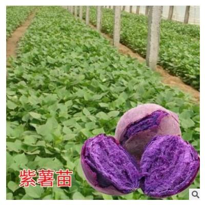 红薯紫薯苗番薯烟薯25苗蜜薯苗紫薯苗雪莲薯苗六鳌小香薯地瓜秧苗