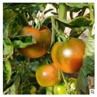 东北铁皮柿子种子草莓番茄种子带绿肩粉果水果西红柿阳台菜园种苗