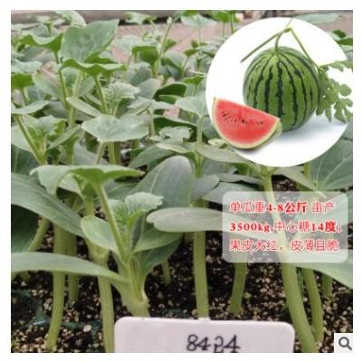 蔬菜苗辣椒苗西红柿苗圣女果番茄苗西瓜秧苗甜瓜茄子黄瓜种苗四季
