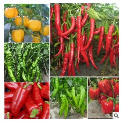 辣椒种苗七彩朝天椒五彩椒羊角椒四季种植食用观赏盆栽蔬菜种籽
